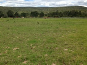 A herd of cattle graze on the Needs Camp Sports Field which received a R1 million upgrade.
